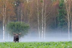 Moose. Elk. Male in autumn fog. stock photo