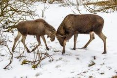 Moose or Elk Royalty Free Stock Photo