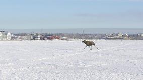 Moose Running on Ice