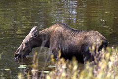 Moose drinks water from the lake in the forest. Moose entered the lake to drink water and eat algae. The moose North America or elk Eurasia is the largest extant Royalty Free Stock Photos