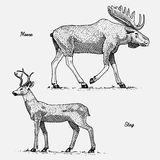 Moose or eurasian elk and stag or deer, hand drawn, engraved wild animals in vintage or retro style, zoology set Royalty Free Stock Photo