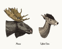 Moose or eurasian elk, tufted deer vector hand drawn illustration, engraved wild animals with antlers or horns vintage Royalty Free Stock Photos