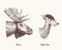 Moose or eurasian elk, tufted deer vector hand drawn illustration, engraved wild animals with antlers or horns vintage Stock Images