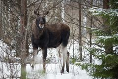 Moose Eurasian Elk In Winter Forest, Close-Up. Wildlife Scene From Belarus. Moose, Standing On The Snow Among Pine Forest And L royalty free stock photo