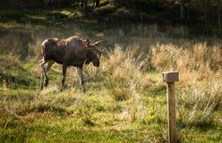 Moose or European elk Alces alces bull walking towards natrium salt lick Royalty Free Stock Photography