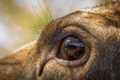 Moose or European elk Alces alces female eye close up Stock Image