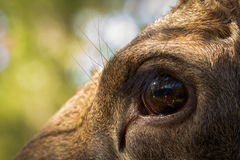 Moose or European elk Alces alces female eye close up Royalty Free Stock Photo