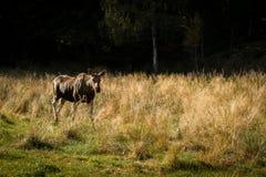 Moose or European elk Alces alces female walking through grass Royalty Free Stock Photo