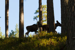 Moose or European elk Alces alces two calves silhouettes in forest Royalty Free Stock Photos