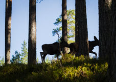 Moose or European elk Alces alces two calves silhouettes in forest Stock Image