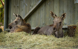 Moose or European elk Alces alces two young calves resting inside a shed Royalty Free Stock Photos
