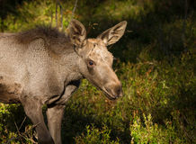 Moose or European elk Alces alces young calf in bilberry forest Stock Photo
