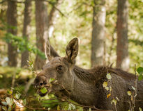 Moose or European elk Alces alces young calf eating leaves in forest Royalty Free Stock Images