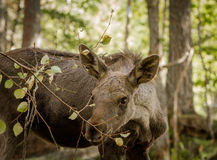 Moose or European elk Alces alces young calf eating leaves in forest Stock Photos