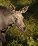 Moose or European elk Alces alces young calf in forest Stock Image