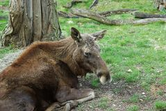 Moose - European elk Europe (Alces alces) Royalty Free Stock Images