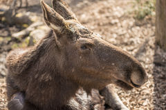 Moose face. Moose in Skansen museum in Stockholm Stock Photography