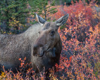 Moose in fall colors. A cow moose near the roadside, Denali National Park, Alaska in the fall Royalty Free Stock Photo