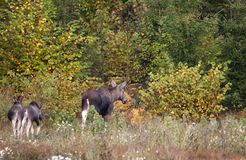 Moose family Royalty Free Stock Photography