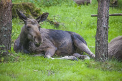 From a moose farm on ed in sweden, female Stock Images