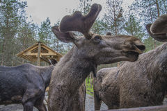 From a moose farm on ed in sweden, male, close-up Royalty Free Stock Photo