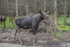 From a moose farm on ed in sweden, male Stock Image