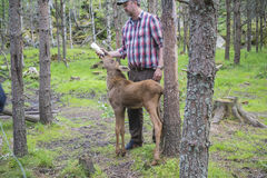 From a moose farm on ed in sweden, moose calf, female, being fed Stock Photography