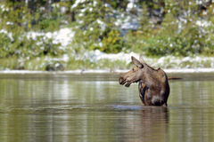 Moose feeding in an alpine lake Stock Photos