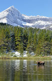 Moose feeding in an alpine lake Royalty Free Stock Photo