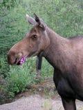 Moose Feeding Royalty Free Stock Images