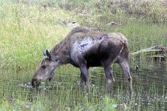 Moose Royalty Free Stock Image