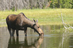 Moose feeding Royalty Free Stock Image