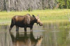Moose feeding Stock Photo