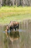 Moose feeding Stock Photography