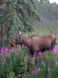 Moose Feeding on Fireweed Stock Image