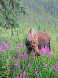 Moose Feeding on Fireweed Royalty Free Stock Photography