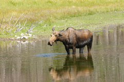 Moose feeding in a pond Royalty Free Stock Image