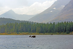 Moose Feeding in a Remote Alpine Lake in the Fall Royalty Free Stock Images