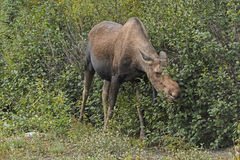 Moose Feeding in the Willows Stock Photo