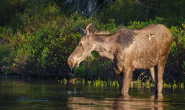 Moose female Stock Photos