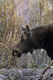 Moose 2014 and 2015 Royalty Free Stock Photography