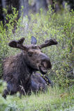 Moose 2014 and 2015 Royalty Free Stock Photo