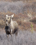 Moose in Field Royalty Free Stock Images