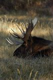 Moose In A Field. Ready to take a nap Royalty Free Stock Image