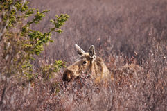 Moose in Field Stock Images