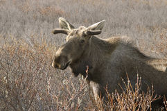 Moose in field. A North American Moose with small antlers in a field Royalty Free Stock Photo