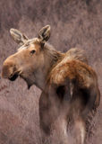 Moose in Field, V Royalty Free Stock Photos