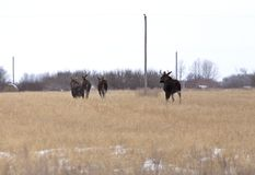 Moose in a field Royalty Free Stock Photo