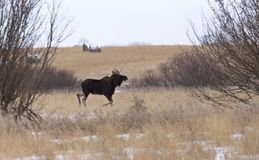 Moose in a field Royalty Free Stock Photography