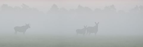 Moose in the fog Stock Image